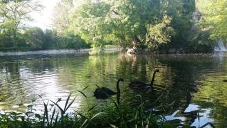 Cisnes lago El Capricho